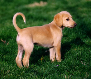 Buying a Saluki Puppy - Saluki Club of America
